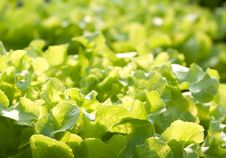 Free Hydroponics Vegetable Stock Photography - 19756962