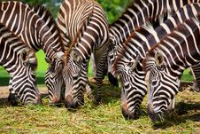 Free Zebra Eating Royalty Free Stock Photos - 19757178