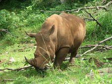 Free Rhino Royalty Free Stock Image - 19757206