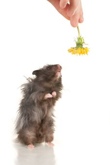 Free Cute Grey Young Home Hamster Stay On Back Paws Royalty Free Stock Images - 19757269