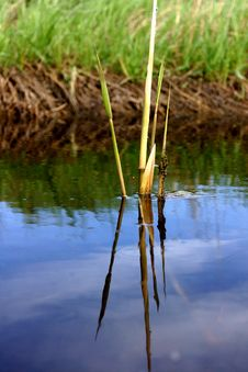 Free Lonely Bulrush Stock Photo - 19757280