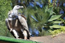 Free Griffon Vulture In A Park Royalty Free Stock Image - 19757396
