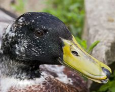Old Mallard Duck Royalty Free Stock Images