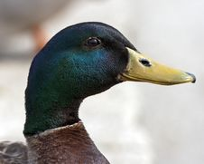 Free Portrait Of A Duck Stock Images - 19757494