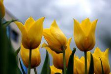 Free Three Tulips Stock Photo - 19757720