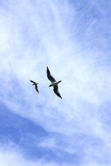 Free Two Seagulls Royalty Free Stock Images - 19757799