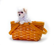 Free Maltese Puppy In Basket Royalty Free Stock Photos - 19757808