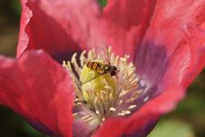 Free Hoverfly In Red Poppy Royalty Free Stock Images - 19757969