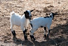 Free Small Goats Royalty Free Stock Images - 19758529