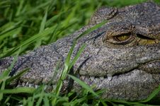 Free Nile Crocodile Closeup Stock Image - 19759211
