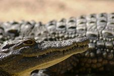 Nile Crocodile Royalty Free Stock Images