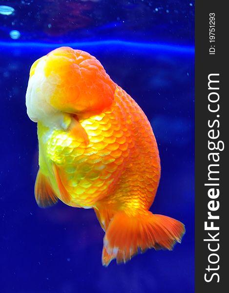 Ranchu Yellow Goldfish