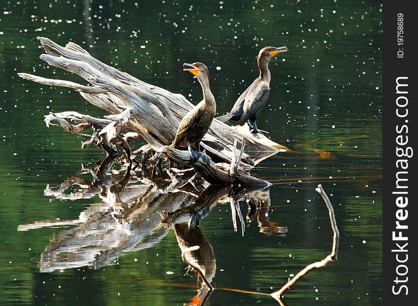 Cormorants on Floating Log