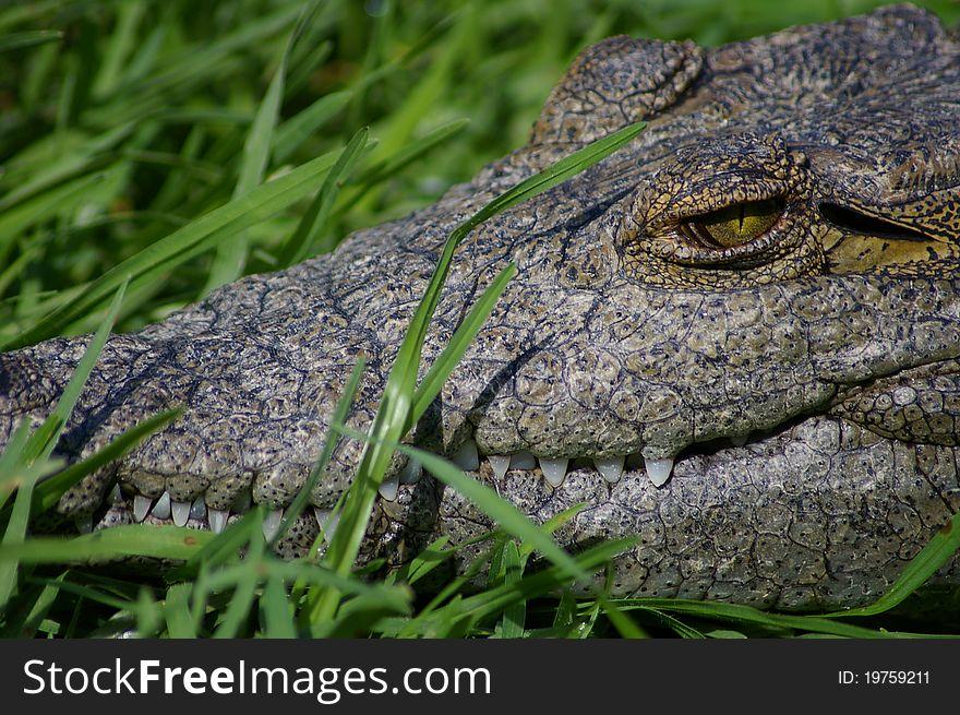 Nile crocodile closeup