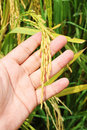 Free Close Up Ripe Paddy In Hand Royalty Free Stock Photo - 19764585
