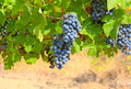 Free Ripe Clusters Of Grapes With Green Leaves Royalty Free Stock Image - 19768316