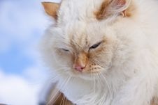 White Cat Portrait Royalty Free Stock Photography