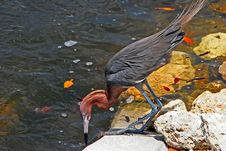 Free Reddish Egret Stock Photos - 19762043
