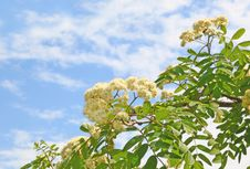 Free Branch Of Flowering Wild Ash Royalty Free Stock Photos - 19762048