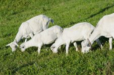 Free Young Goats And Sheep In Pasture Stock Image - 19762281