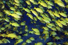 Free Blue Strpied Snappers Stock Photo - 19763390
