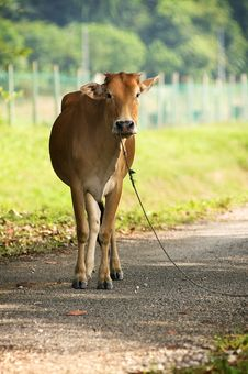 Free Brown Cow Stand On The Road Royalty Free Stock Photos - 19764208