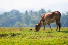 Free Cow Eat Grass In Morning Stock Photos - 19764613