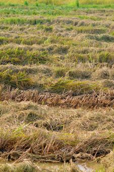 Free Paddy Field Cleared After Harvest Royalty Free Stock Images - 19765059