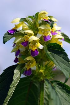 Free Hemp Nettle (Galeopsis Speciosa) Stock Images - 19765764