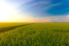 Paddy Field In The Morning Royalty Free Stock Images