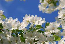Free Apple Flowers Stock Photos - 19765973