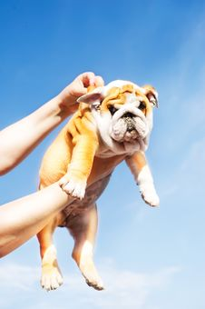 Holding English Bulldog Puppy Royalty Free Stock Image