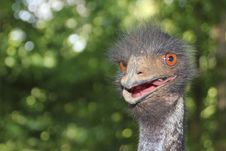 Free Very Angry Ostrich Royalty Free Stock Photography - 19767147