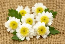 Free Camomile Flowers Royalty Free Stock Photo - 19767615