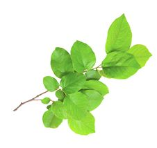 Free Gentle Green Branch Stock Photography - 19768262