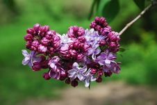 Free Purple Panicle Of Lilac. Stock Images - 19768454