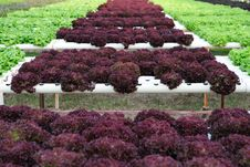 Free Hydroponic Vegetable Royalty Free Stock Photos - 19768548