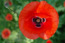 Free Red Poppies.2 Royalty Free Stock Images - 19768949