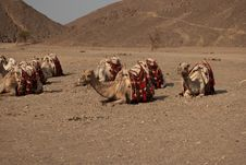 Free Lazy Camels In The Desert Royalty Free Stock Photo - 19769675