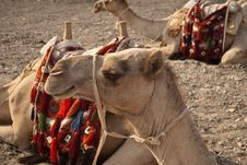 Free Close Up Of Camel S Head Royalty Free Stock Photo - 19769715