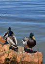 Free Relaxing Mallards Stock Images - 19772674