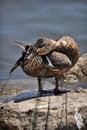 Free Mallard Duckling Royalty Free Stock Photos - 19772678