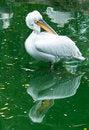Free Dalmatian Pelican Stock Photos - 19773523