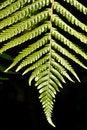 Free Fern Leaf Royalty Free Stock Photos - 19778208