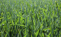 Free Green Wheat Field Royalty Free Stock Image - 19778486