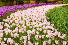 Free Pink And Magenta Tulips Stock Photo - 19770230