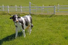 Cow - Artificial Stock Images