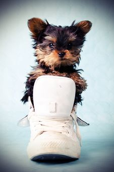 Free Yorkshire Pup In Shoe Stock Images - 19770784