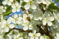 Free Bee On A Cherry Tree Royalty Free Stock Photography - 19771027