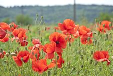 Free Lots Of Poppies Stock Photos - 19771353